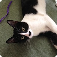 Domestic Shorthair Kitten for adoption in Cleveland, Ohio - Romeo