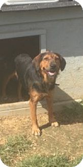 Shepherd (Unknown Type) Mix Dog for adoption in Medora, Indiana - Olive
