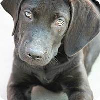 Labrador Retriever Mix Puppy for adoption in Jewett City, Connecticut - Liam