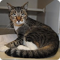 Domestic Shorthair Cat for adoption in Ridgeland, South Carolina - Louisa