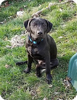 Labrador Retriever/Boxer Mix Puppy for adoption in joliet, Illinois - CLYDE