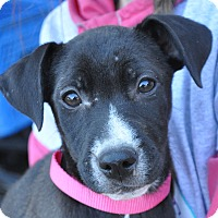 Labrador Retriever Mix Puppy for adoption in Atlanta, Georgia - Madison