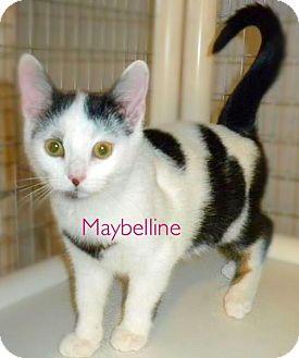 Domestic Shorthair Kitten for adoption in York, Pennsylvania - Maybelline