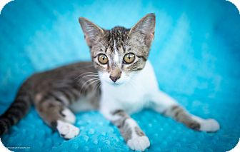 Domestic Shorthair Kitten for adoption in Manchester, Connecticut - Bitty (in CT)