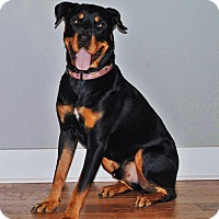Rottweiler Mix Dog for adoption in White Hall, Arkansas - Benny