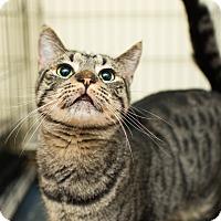 Adopt A Pet :: Atlas - Los Angeles, CA