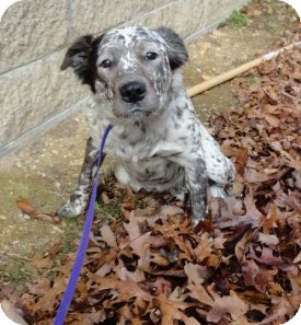 English Setter/Pit Bull Terrier Mix Dog for adoption in Spruce Pine, North Carolina - Lizzy
