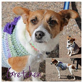 Jack Russell Terrier Mix Dog for adoption in Garden City, Michigan - Gretchen