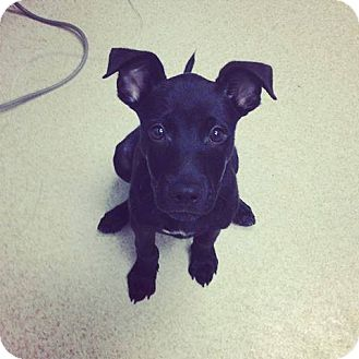 Labrador Retriever Mix Puppy for adoption in Gainesville, Florida - Mikey