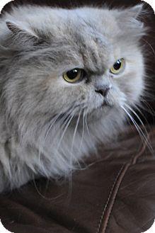 Lilac Adopted Cat Columbus Oh Persian