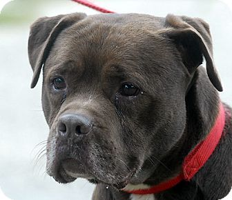 BROWN BROWN   Adopted Dog   110   New Haven, CT   Labrador ...
