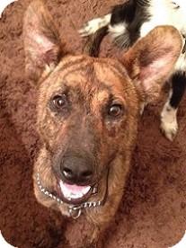 Treeing Walker Coonhound Mix Dog for adoption in Schertz, Texas - Summer MD