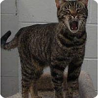 American Shorthair Cat for adoption in SHARONVILLE, Ohio - Eddie