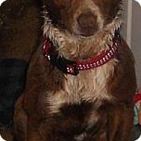 Adopt A Pet :: Basenji - Aloha, OR