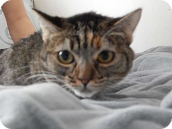 Domestic Shorthair Cat for adoption in Mesa, Arizona - Tosha