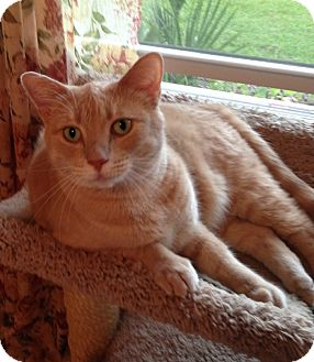 Abyssinian Cat for adoption in Putnam Hall, Florida - Lolly