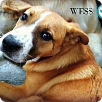 Adopt A Pet :: Wess - Kimberton, PA