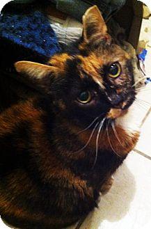 Domestic Shorthair Cat for adoption in Norwalk, Connecticut - Cosette Lap Cat