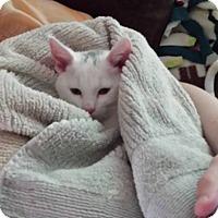 Adopt A Pet :: Lambchop - Millersville, MD