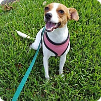Adopt A Pet :: Callie - Miami, FL
