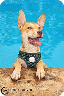 Labrador Retriever Mix Puppy for adoption in Dallas, Texas - Boudain