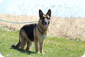 German Shepherd Dog Dog for adoption in Tully, New York - MADDY