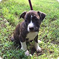 Adopt A Pet :: Felicia - Harrisonburg, VA