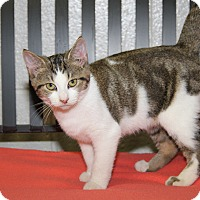 Domestic Shorthair Cat for adoption in Marietta, Ohio - Olympia (Spayed)