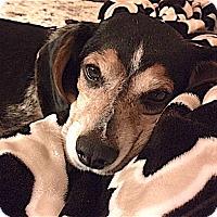 Beagle Dog for adoption in Houston, Texas - Jasper