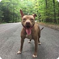 Pit Bull Terrier Mix Dog for adoption in Hamburg, New York - Charli