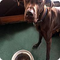 Great Dane Dog for adoption in Akron, Ohio - Delaney
