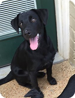 Labrador Retriever/Golden Retriever Mix Puppy for adoption in knoxville, Tennessee - OCTAVIA