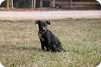 Labrador Retriever Mix Dog for adoption in Ruston, Louisiana - Nora