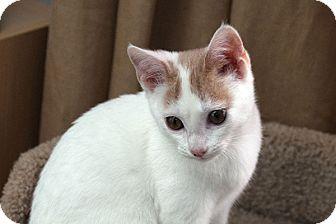Domestic Shorthair Kitten for adoption in Durham, North Carolina - Dottie