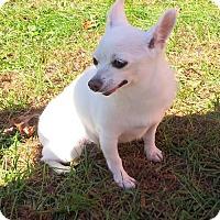 Adopt A Pet :: Sugar(Itty Bitty Betty) - Pardeeville, WI