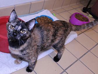 Calico Kitten for adoption in Lumberton, North Carolina - Chrissy
