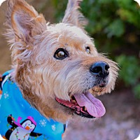 Adopt A Pet :: Chloe - Gilbert, AZ