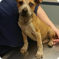 Adopt A Pet :: Gus - Manchester, NH