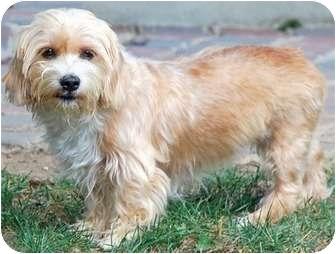 Ginger | Adopted Dog | Greensboro, NC | Yorkie, Yorkshire ...