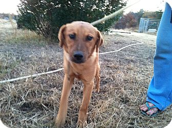 Shepherd (Unknown Type) Mix Puppy for adoption in Lebanon, Maine - Diesel-URGENT in MD(See Diego)