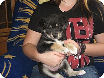 German Shepherd Dog Mix Puppy for adoption in Greenville, Rhode Island - Mia
