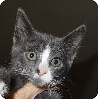 Domestic Shorthair Kitten for adoption in Hadley, Michigan - Derby