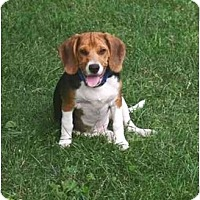 Adopt A Pet :: Johnny - Novi, MI