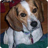 Adopt A Pet :: Cricket - Novi, MI