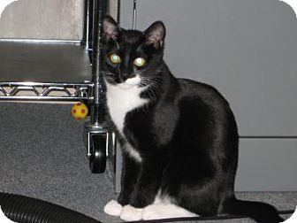 Domestic Shorthair Cat for adoption in Fort Collins, Colorado - Eren and Levi