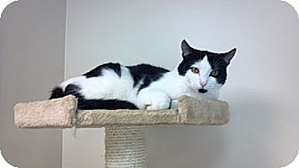 Domestic Shorthair Cat for adoption in Pineville, North Carolina - Dale