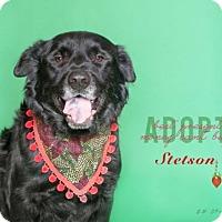 Flat-Coated Retriever Mix Dog for adoption in Boston, Massachusetts - Stetson