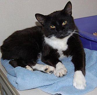 Domestic Shorthair Cat for adoption in Brainardsville, New York - Annie