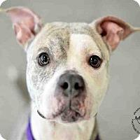Adopt A Pet :: Patsy Cline - Alexandria, VA
