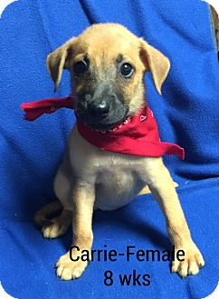 Golden Retriever/Shepherd (Unknown Type) Mix Puppy for adoption in Burlington, Vermont - Carrie (has been adopted)